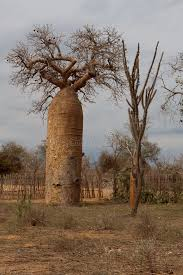 baobab or tree stock image image of madagascar trunk