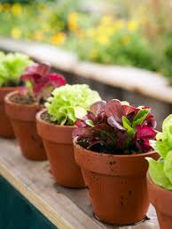 Indoor Vegetable Container Gardening - best 25 growing lettuce ideas on pinterest regrow vegetables