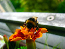 bumble bee free images public domain images