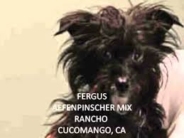 affenpinscher terrier mix affenpinscher mix part 2 youtube