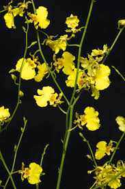 yellow orchid orchid sprays fresh yellow or purple oncidium orchid