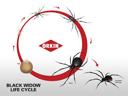 Black Widow Spiders Had A - black widow life cycle reproduction