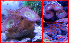 led lighting for zoanthids good corals for beginners zoanthid and palythoa reef aquarium