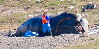 record sightings offset distress over whale death news
