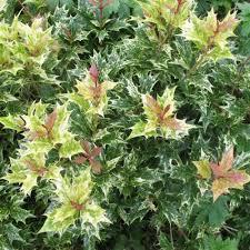 arbuste feuillage pourpre persistant osmanthe à feuilles de houx u0027tricolor u0027 plantes et jardins