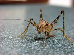those crickets in your basement they probably came from asia