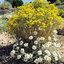 native ontario plants new mexico classics snakeweed and blackfoot daisy beautiful