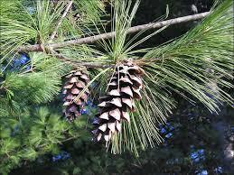 white pine tree isu forestry extension tree identification white pine pinus strobus