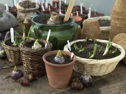 potted bulbs as christmas gifts hgtv