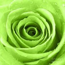 green roses 90 best роза цвет зелёный images on green