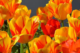 Images Of Tulip Flowers - spring flowers free pictures on pixabay