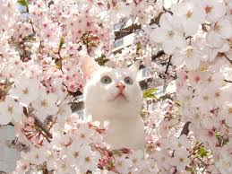 Cherry Blossom Facts by Spring Is Here All Hail The Cherry Blossom Cat Cherry Blossoms