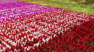 Tulip Field Tulip Field With Wind Effect 21strom Virtual Landscaping Youtube