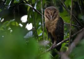 Barn Owl Sounds Common Barn Owl Tyto Alba Videos Photos And Sound Recordings
