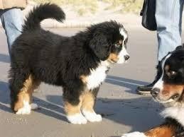animali da cortile in regalo regalo cuccioli cuccioli cani cuccioli in regalo