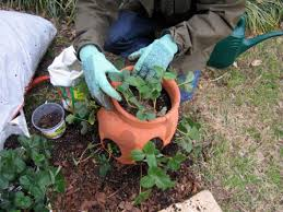 how to plant strawberries how tos diy