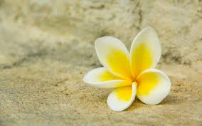 white yellow plumeria flower hd wallpaper for desktop free