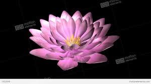 lotus flower rotate stock animation 1632649