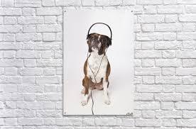 boxer dog quebec boxer dog with headphones pacificstock canvas
