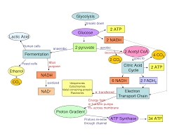 Photosynthesis Concept Map Photosynthesis Cellular Respiration Flow Chart Varedyba21 U0027s Soup