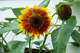 How To Grow A Bulb In A Vase How To Grow Sunflower Plants Growing Sunflowers Seeds Sale