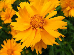 native plants journal vermont garden journal coreopsis a native addition to the garden