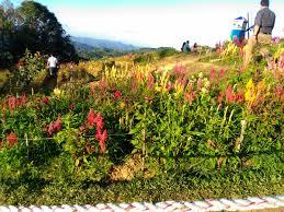 flower garden in amsterdam sirao garden celosia flower farm cebu philippines travel