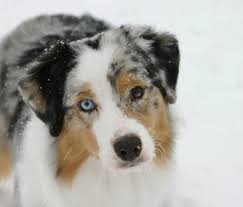 australian shepherd akc copperridge australian shepherds u2022 about us