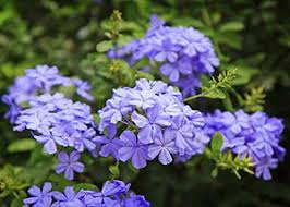Blue Flower Vine - 40 waterwise plants and natives by flower color