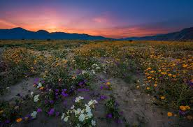 anza borrego anza borrego desert state park wildflower super bloom travel caffeine