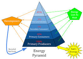 what level of the food pyramid do carnivore and omnivore belong to
