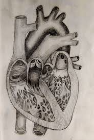 anatomical drawing of a heart drawings of human hearts to draw