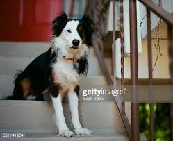australian shepherd apartment australian shepherd border collie mix dog at door of apartment