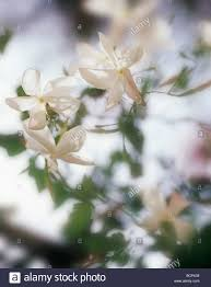 jasminum officinale jasmine delicate white flowers on the climbing