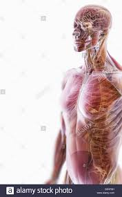 Human Anatomy Upper Body A Transparent Skin Reveals Muscles Skeletal Structures Upper Body