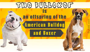 characteristics of a australian shepherd personality traits of the boxer bulldog mix breed you didn u0027t know