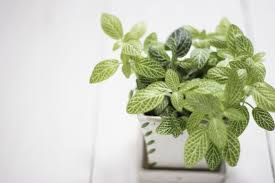 how to grow fittonia houseplants