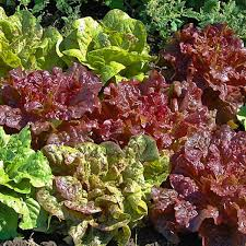 romaine cos lettuce seeds for sale vegetable seeds