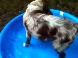 7 month old australian shepherd puppy riley my 6 month old red merle australian shepherd in pool youtube