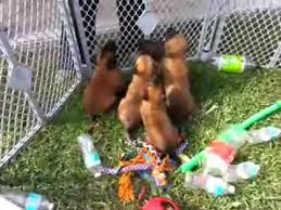 belgian malinois breeder california belgian malinois puppies for sale akc registered knpv lines youtube