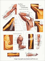 Human Anatomy Upper Body Upper Body Surface Landmarks Of The Muscles Posters