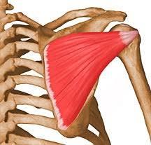 Innervation Of Supraspinatus Infraspinatus Uw Radiology