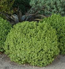 planting a native hedge golf ball kohuhu monrovia golf ball kohuhu