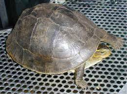 how to care for your asian box turtle cuora amboinensis with