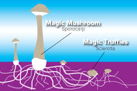 where can you buy truffles magic mushrooms buy our truffles and grow kits online