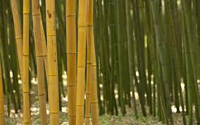 sorte de bambou comment planter ses bambous dans les règles de l u0027art sans être envahi