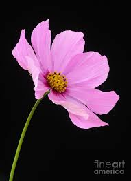 Cosmos Flower Essence - cosmos flower pink cosmos flower on black background photograph