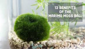 Live Plants In Community Aquariums by 13 Benefits Of The Marimo Moss Ball Pethelpful