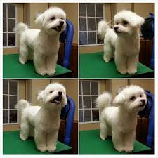poodle vs bichon frise 25 cutest maltese haircuts for your little puppy u2013 hairstylecamp