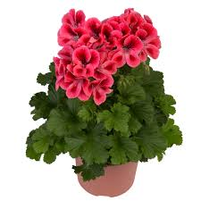 geranium soft spoken masses of glowing flowers top perfect